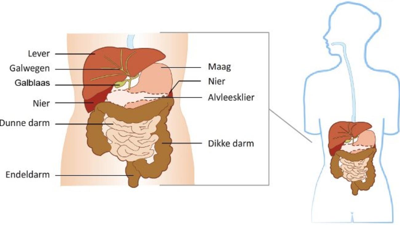 lever orgaanoverzicht
